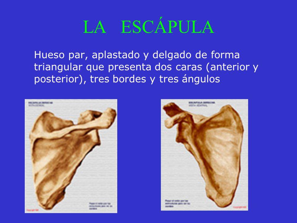 LA ESCÁPULA Hueso par, aplastado y delgado de forma triangular que presenta dos caras (anterior y posterior), tres bordes y tres ángulos.