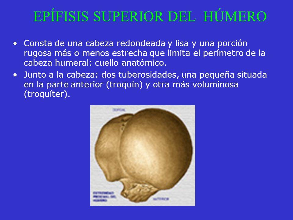 EPÍFISIS SUPERIOR DEL HÚMERO