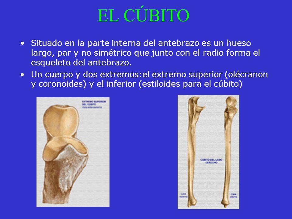 Dorable Cúbito Huesos Fotos Inspiración - Imágenes de Anatomía ...
