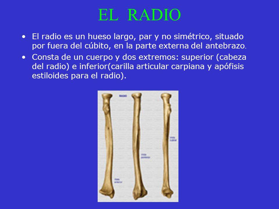 EL RADIO El radio es un hueso largo, par y no simétrico, situado por fuera del cúbito, en la parte externa del antebrazo.