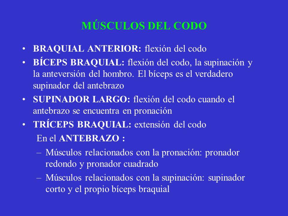 MÚSCULOS DEL CODO BRAQUIAL ANTERIOR: flexión del codo