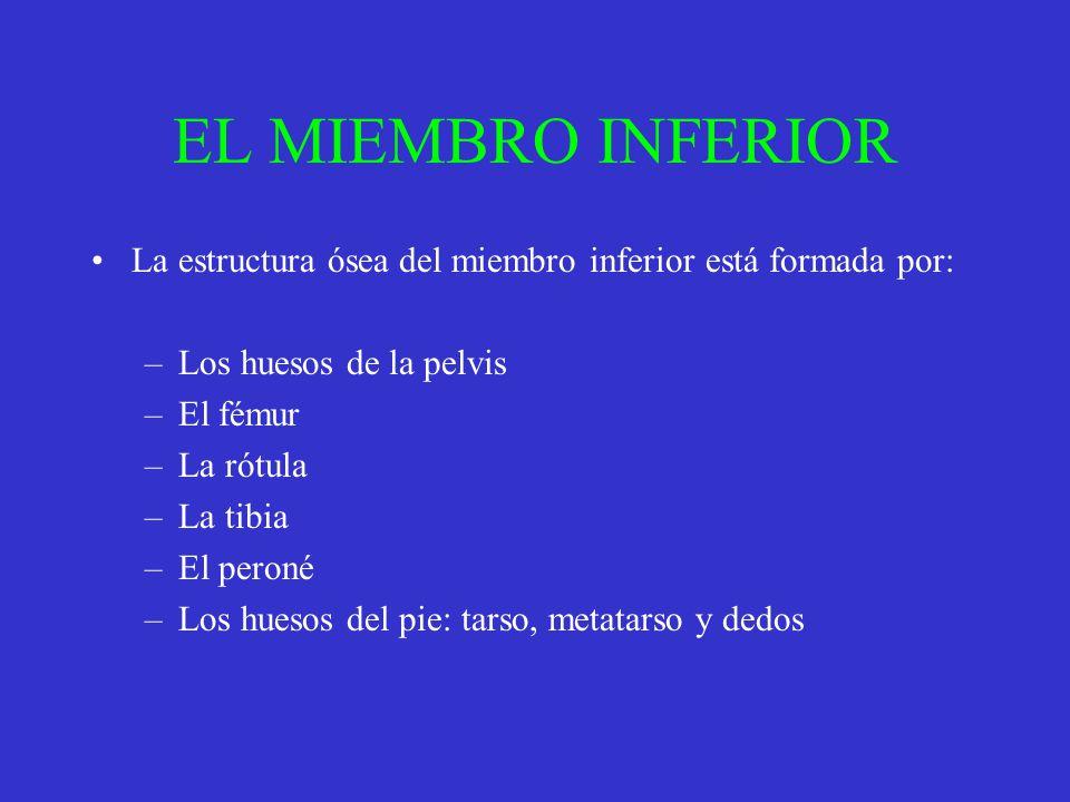 EL MIEMBRO INFERIOR La estructura ósea del miembro inferior está formada por: Los huesos de la pelvis.