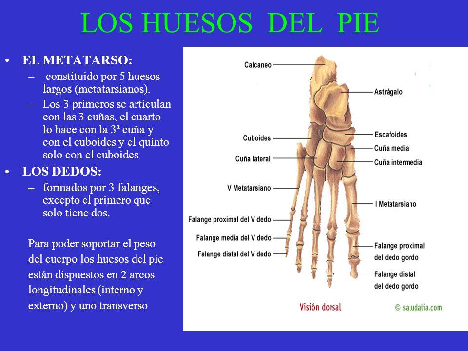 LOS HUESOS DEL PIE EL METATARSO: LOS DEDOS: