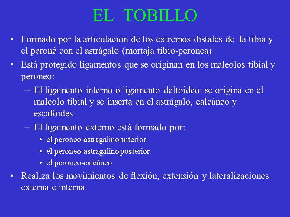 EL TOBILLO Formado por la articulación de los extremos distales de la tibia y el peroné con el astrágalo (mortaja tibio-peronea)