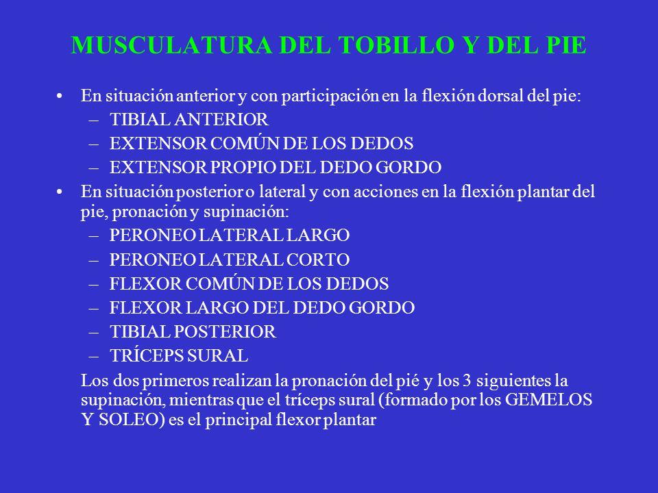 MUSCULATURA DEL TOBILLO Y DEL PIE