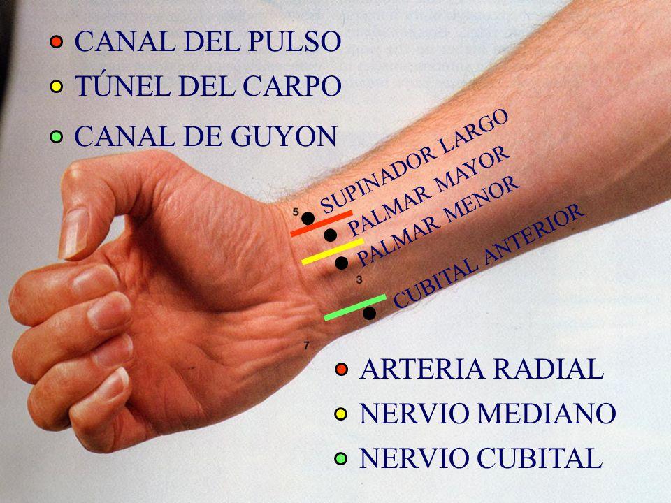 CANAL DEL PULSO TÚNEL DEL CARPO CANAL DE GUYON ARTERIA RADIAL