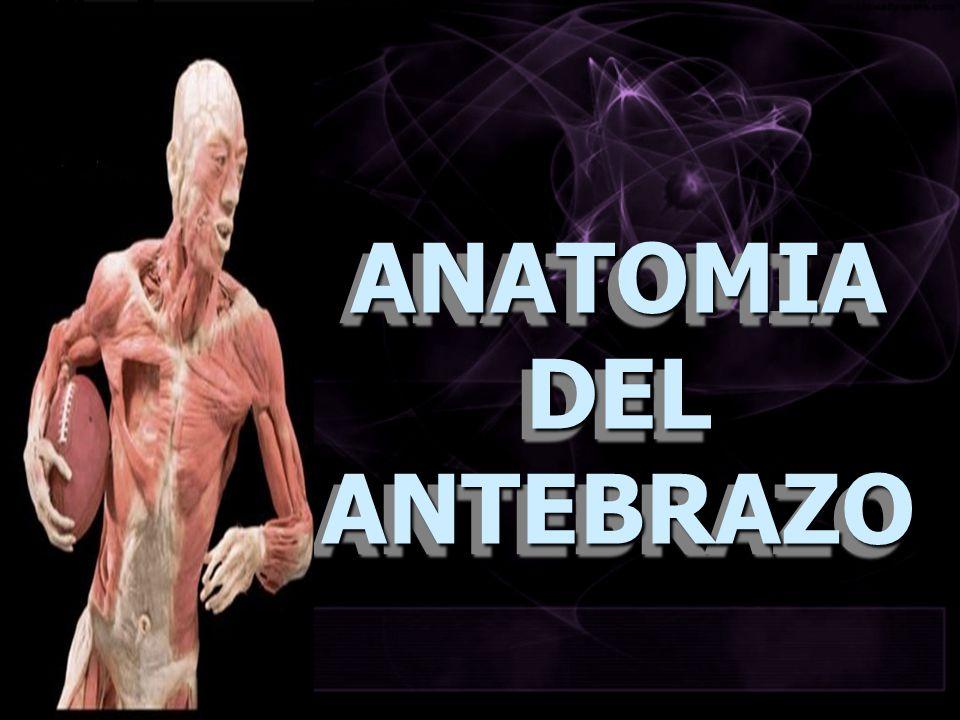 ANATOMIA DEL ANTEBRAZO
