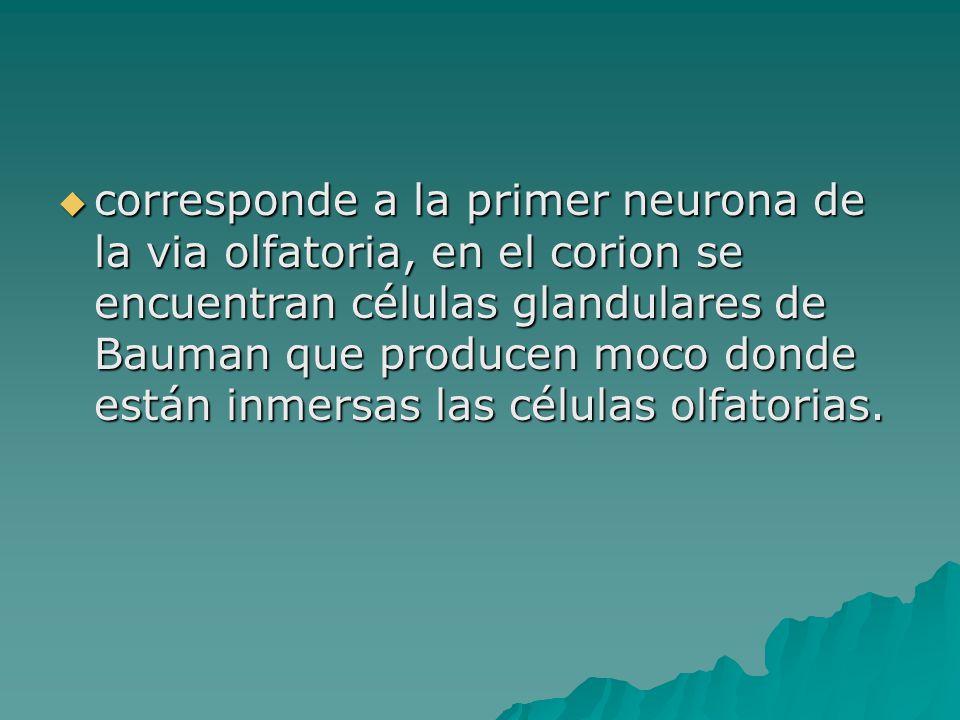 corresponde a la primer neurona de la via olfatoria, en el corion se encuentran células glandulares de Bauman que producen moco donde están inmersas las células olfatorias.
