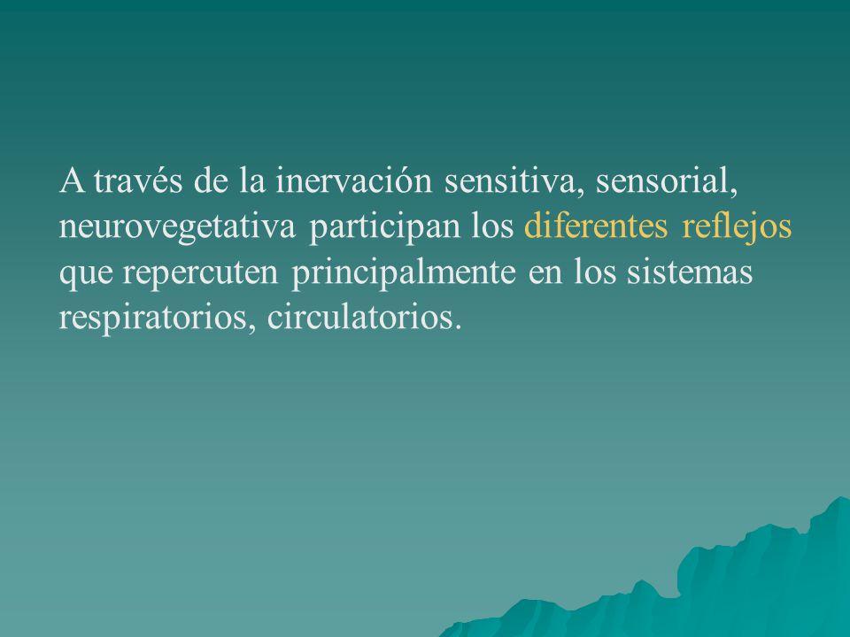 A través de la inervación sensitiva, sensorial, neurovegetativa participan los diferentes reflejos que repercuten principalmente en los sistemas respiratorios, circulatorios.