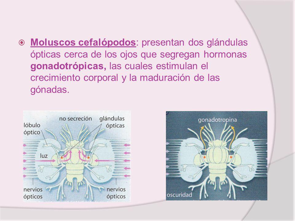 Moluscos cefalópodos: presentan dos glándulas ópticas cerca de los ojos que segregan hormonas gonadotrópicas, las cuales estimulan el crecimiento corporal y la maduración de las gónadas.