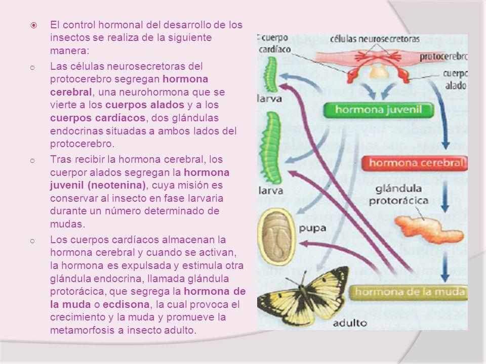 El control hormonal del desarrollo de los insectos se realiza de la siguiente manera: