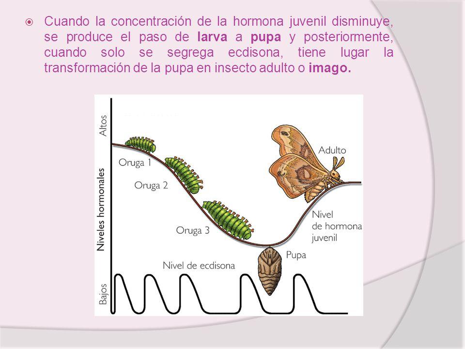 Cuando la concentración de la hormona juvenil disminuye, se produce el paso de larva a pupa y posteriormente, cuando solo se segrega ecdisona, tiene lugar la transformación de la pupa en insecto adulto o imago.