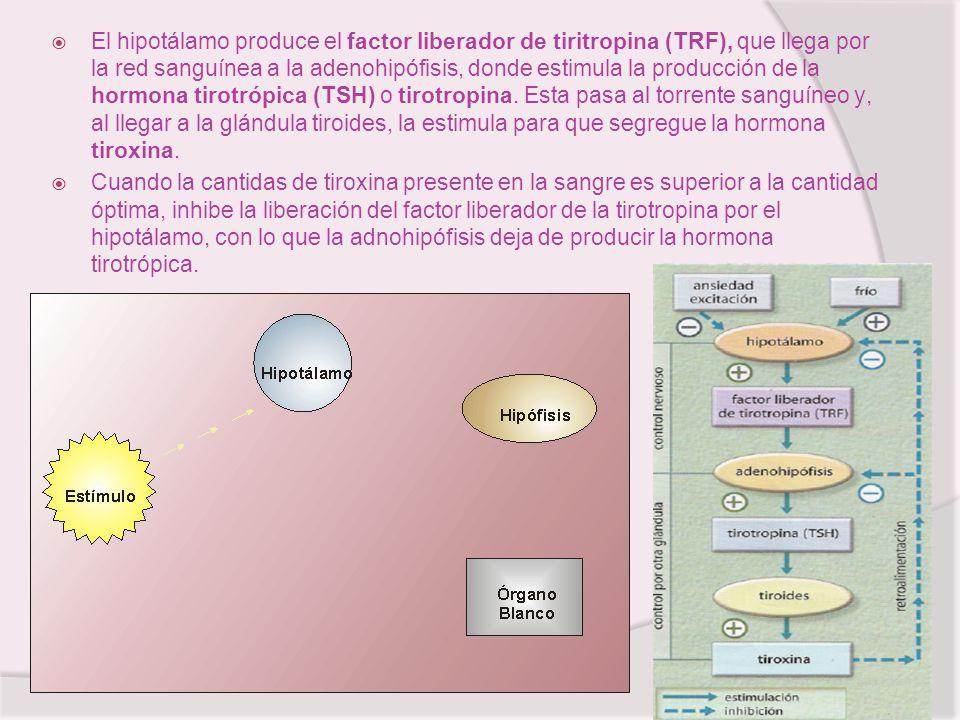 El hipotálamo produce el factor liberador de tiritropina (TRF), que llega por la red sanguínea a la adenohipófisis, donde estimula la producción de la hormona tirotrópica (TSH) o tirotropina. Esta pasa al torrente sanguíneo y, al llegar a la glándula tiroides, la estimula para que segregue la hormona tiroxina.