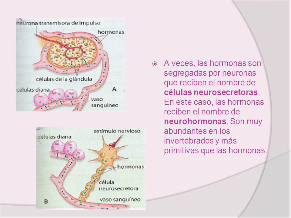 A veces, las hormonas son segregadas por neuronas que reciben el nombre de células neurosecretoras.
