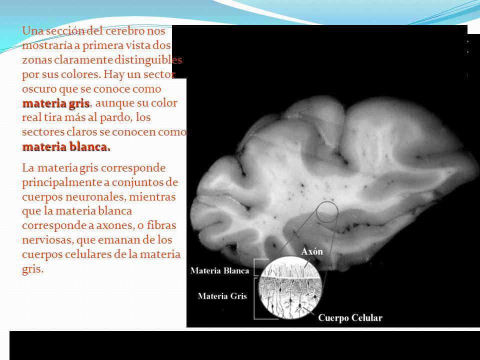 Una sección del cerebro nos mostraría a primera vista dos zonas claramente distinguibles por sus colores. Hay un sector oscuro que se conoce como materia gris, aunque su color real tira más al pardo, los sectores claros se conocen como materia blanca.