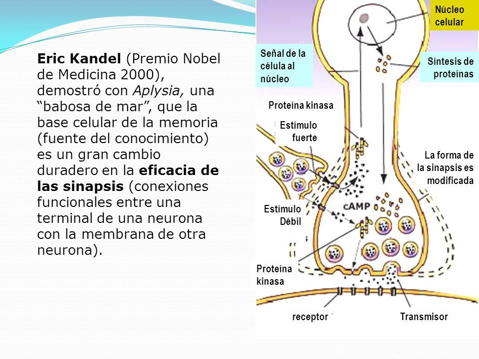 Núcleo celular. Síntesis de. proteínas. La forma de. la sinapsis es. modificada. Señal de la.