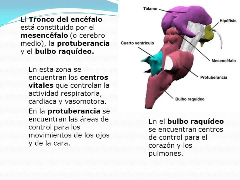 El Tronco del encéfalo está constituido por el mesencéfalo (o cerebro medio), la protuberancia y el bulbo raquídeo.