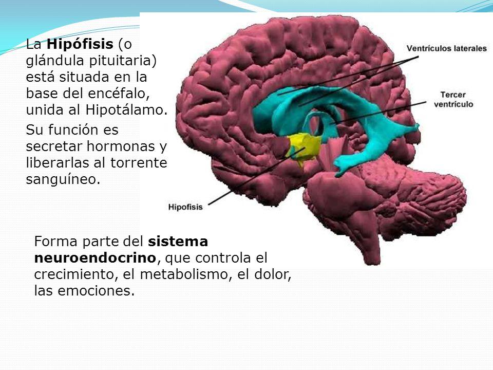 La Hipófisis (o glándula pituitaria) está situada en la base del encéfalo, unida al Hipotálamo.
