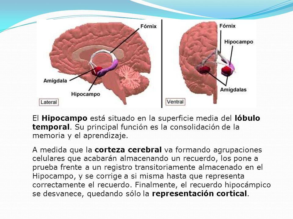 El Hipocampo está situado en la superficie media del lóbulo temporal