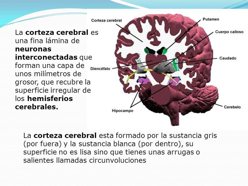 La corteza cerebral es una fina lámina de neuronas interconectadas que forman una capa de unos milímetros de grosor, que recubre la superficie irregular de los hemisferios cerebrales.