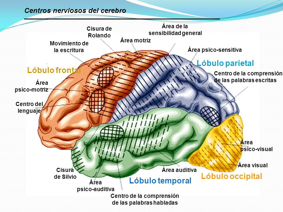 Centro de la comprensión de las palabras habladas