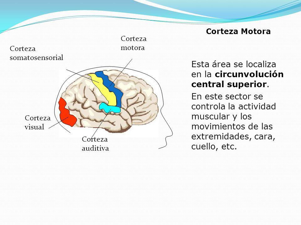 Esta área se localiza en la circunvolución central superior.