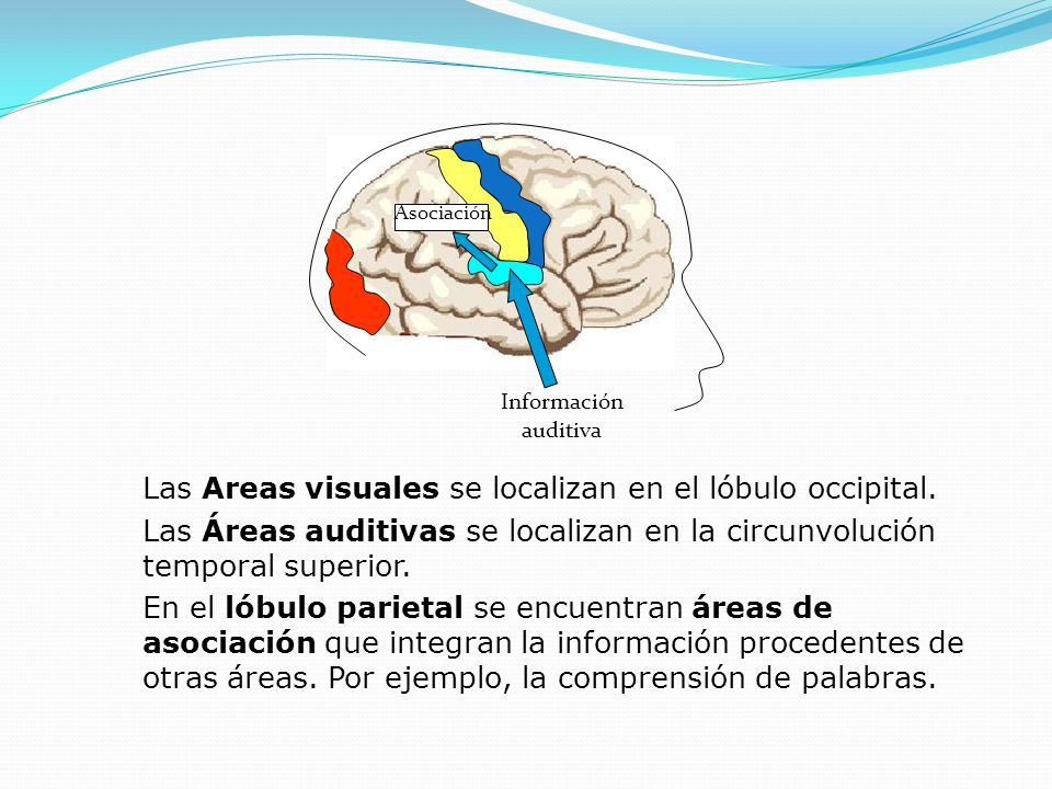 Las Areas visuales se localizan en el lóbulo occipital.
