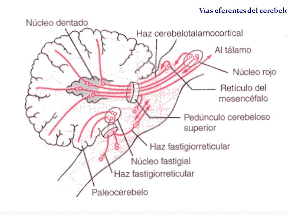 Vías eferentes del cerebelo