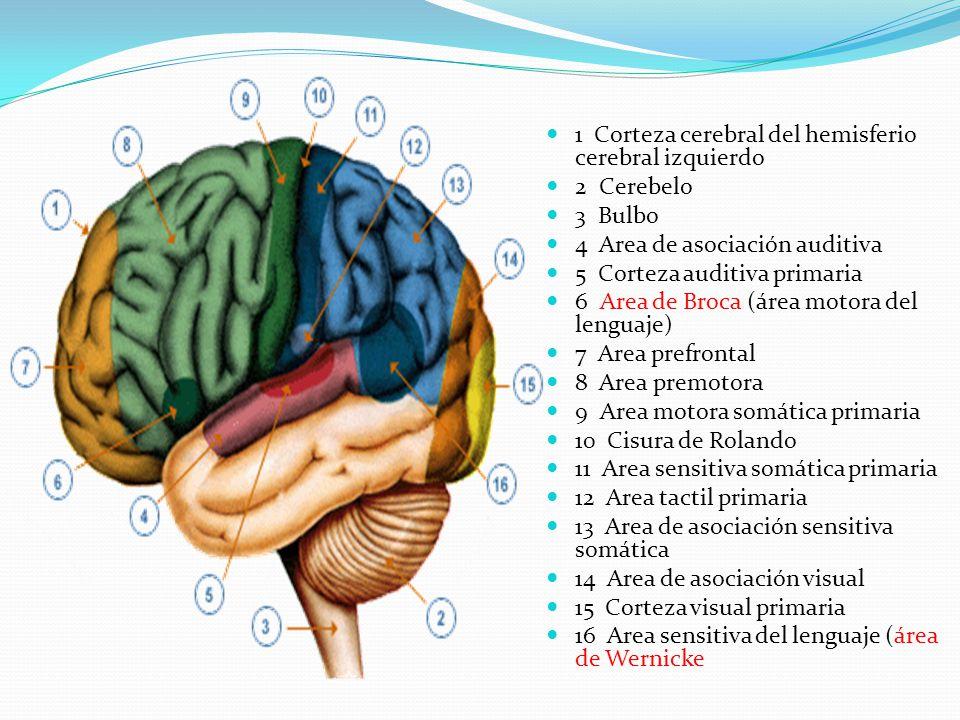 1 Corteza cerebral del hemisferio cerebral izquierdo
