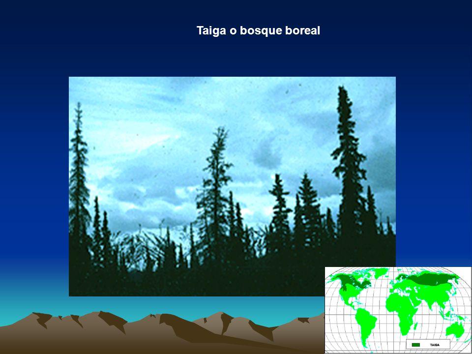 Taiga o bosque boreal