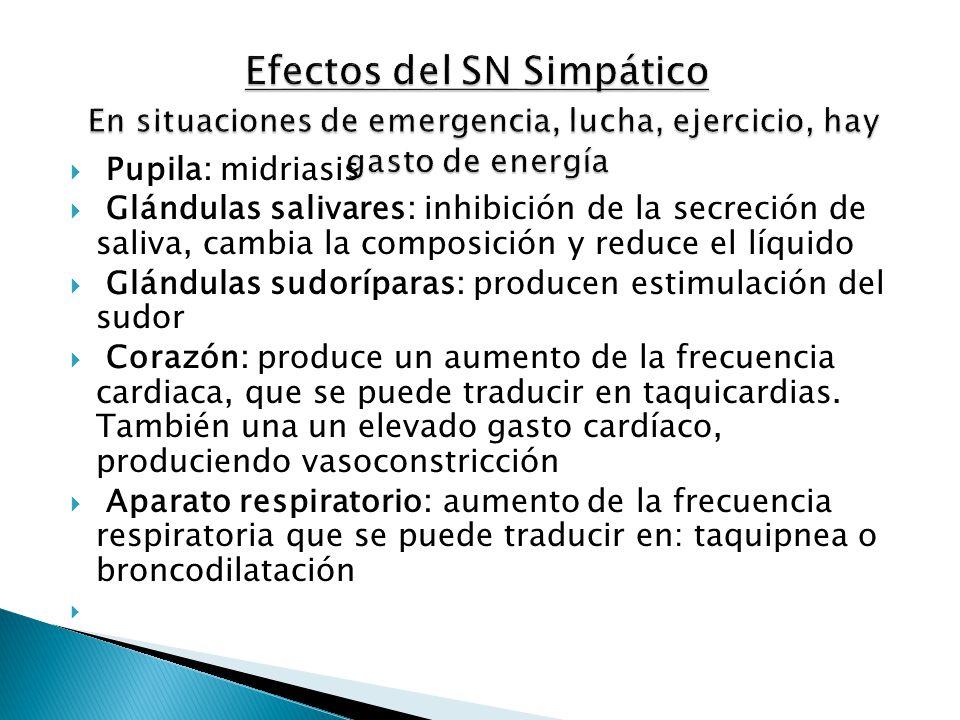 Efectos del SN Simpático En situaciones de emergencia, lucha, ejercicio, hay gasto de energía