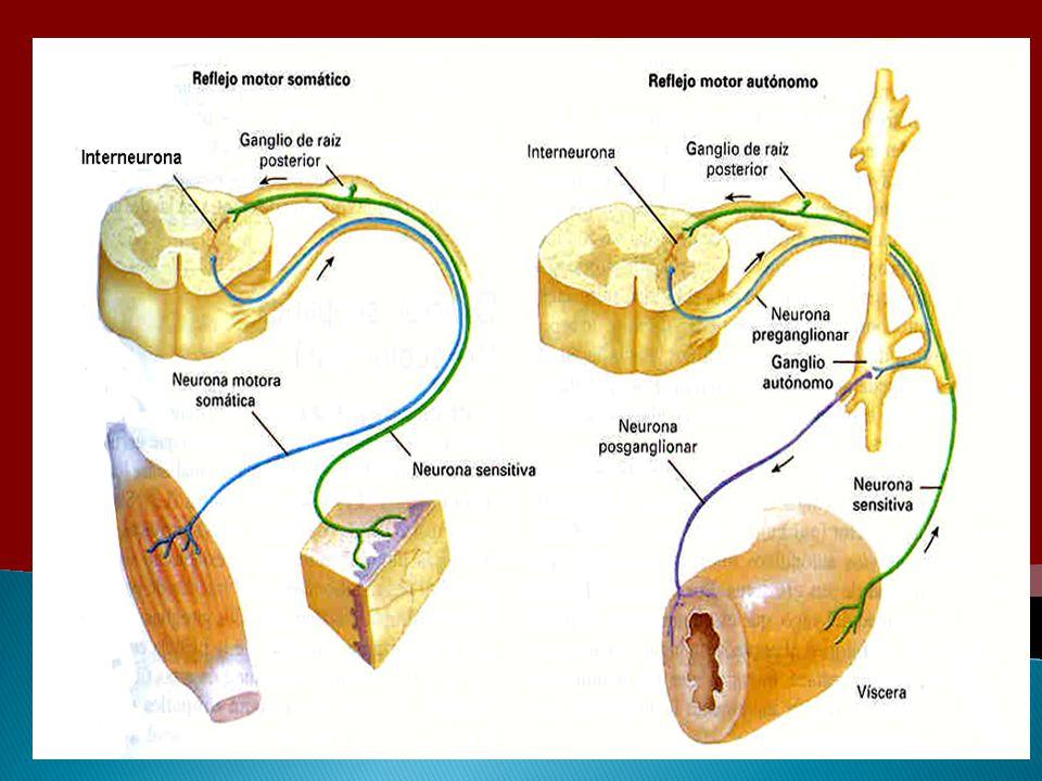 Comparación entre el sistema motor somático y el sistema motor autónomo.