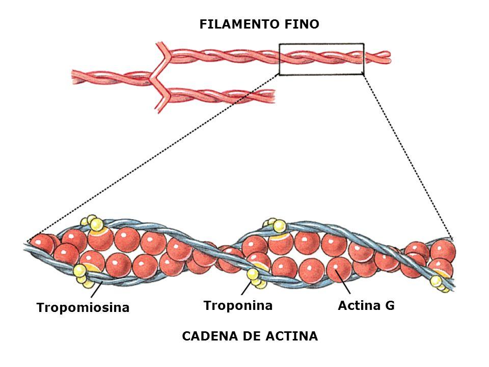 FILAMENTO FINO Troponina Actina G Tropomiosina CADENA DE ACTINA
