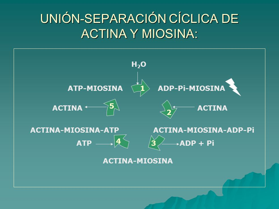 UNIÓN-SEPARACIÓN CÍCLICA DE ACTINA Y MIOSINA: