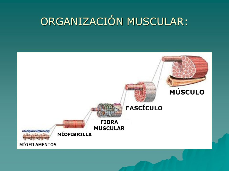 ORGANIZACIÓN MUSCULAR:
