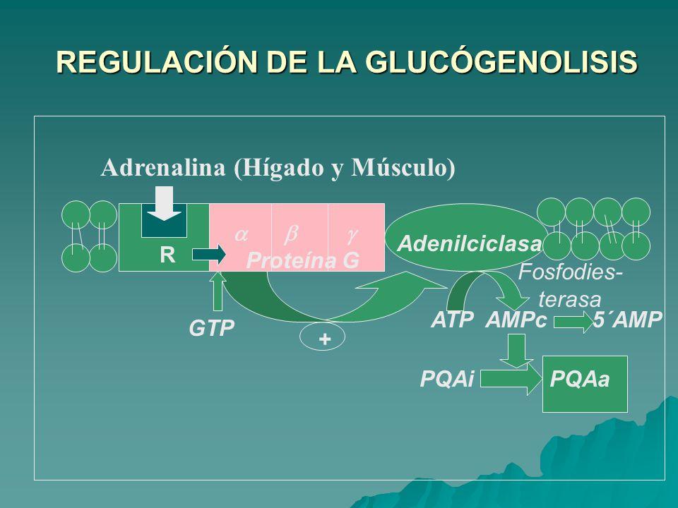 REGULACIÓN DE LA GLUCÓGENOLISIS