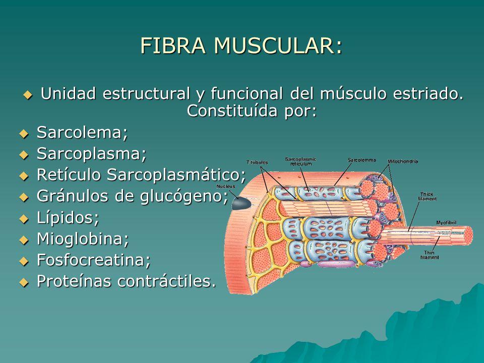 Unidad estructural y funcional del músculo estriado. Constituída por: