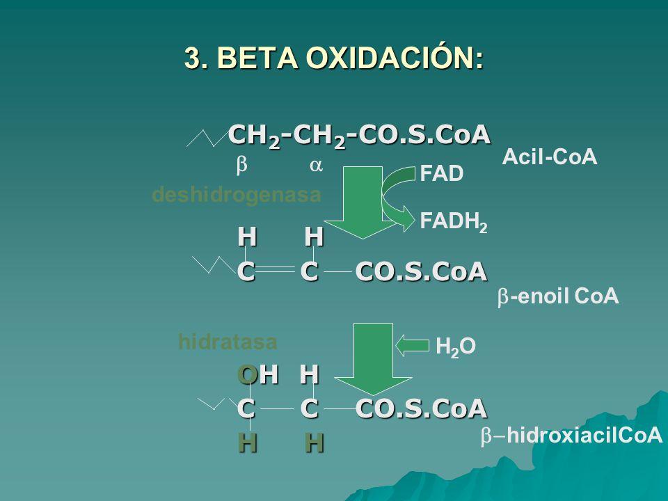 3. BETA OXIDACIÓN: CH2-CH2-CO.S.CoA H H C C CO.S.CoA OH H Acil-CoA b a