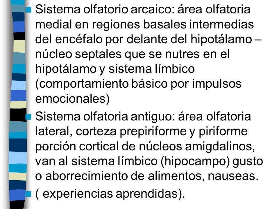 Sistema olfatorio arcaico: área olfatoria medial en regiones basales intermedias del encéfalo por delante del hipotálamo – núcleo septales que se nutres en el hipotálamo y sistema límbico (comportamiento básico por impulsos emocionales)