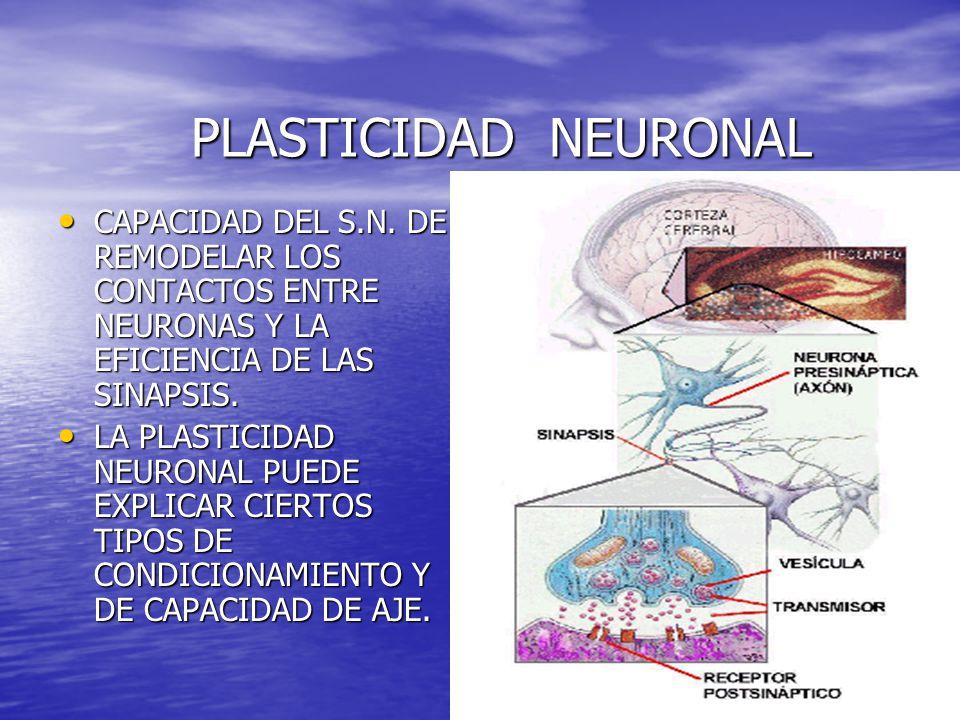 PLASTICIDAD NEURONAL CAPACIDAD DEL S.N. DE REMODELAR LOS CONTACTOS ENTRE NEURONAS Y LA EFICIENCIA DE LAS SINAPSIS.