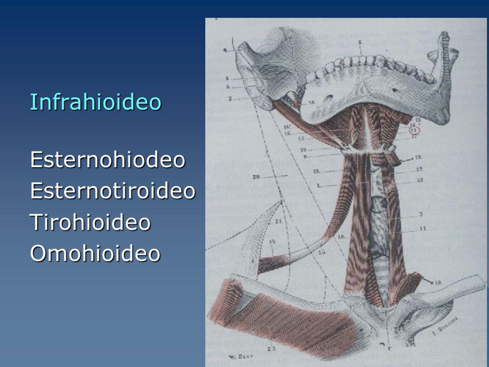 Infrahioideo Esternohiodeo Esternotiroideo Tirohioideo Omohioideo