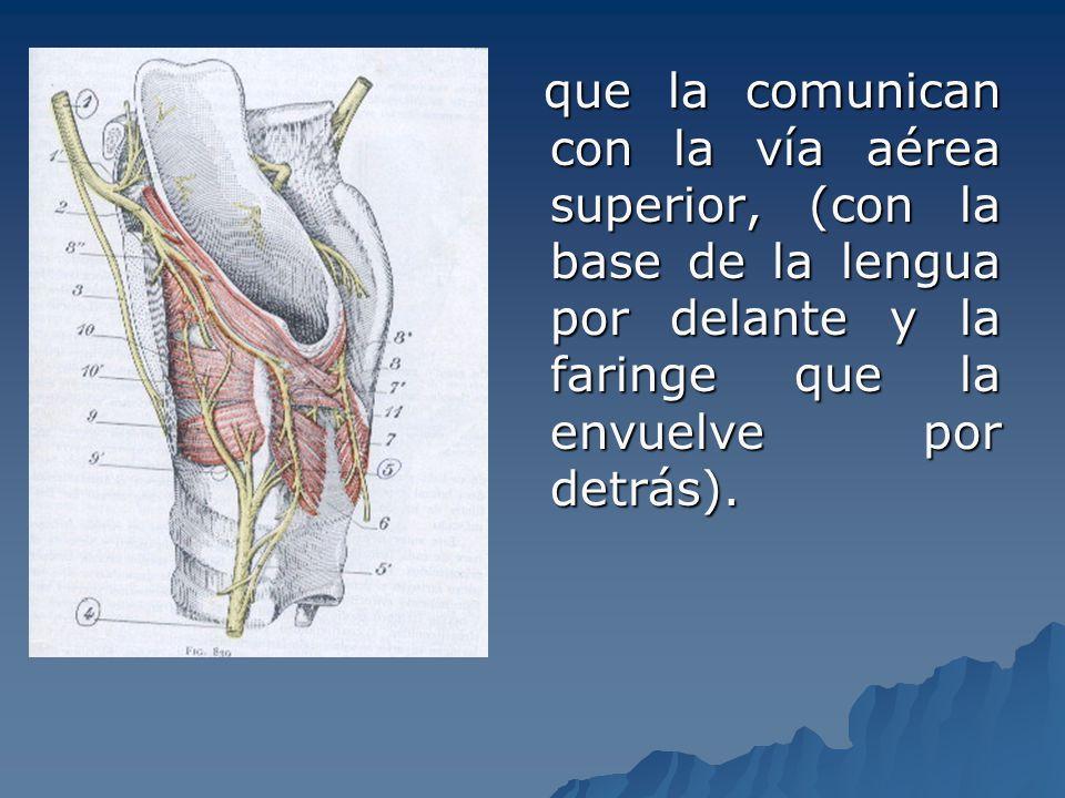 que la comunican con la vía aérea superior, (con la base de la lengua por delante y la faringe que la envuelve por detrás).