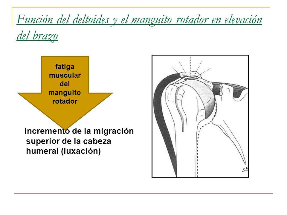Función del deltoides y el manguito rotador en elevación del brazo