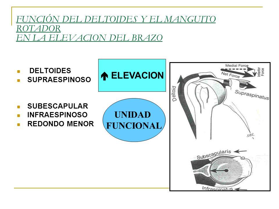 FUNCIÓN DEL DELTOIDES Y EL MANGUITO ROTADOR EN LA ELEVACION DEL BRAZO