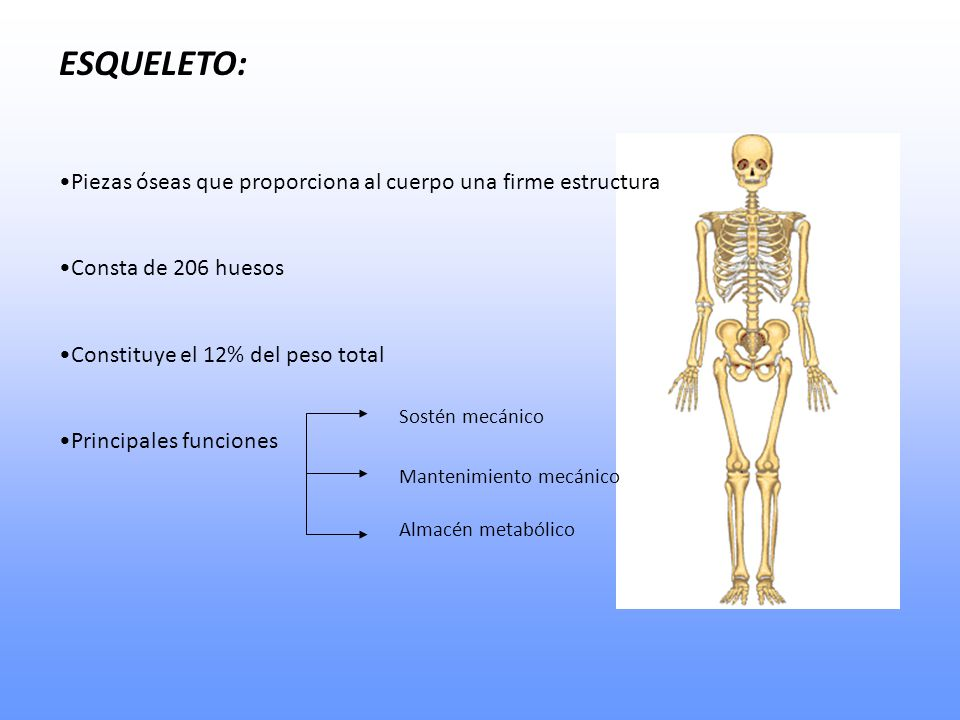 ESQUELETO: Piezas óseas que proporciona al cuerpo una firme estructura