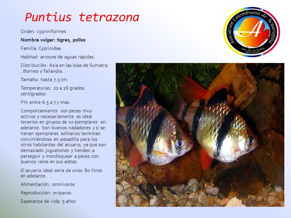 Puntius tetrazona Orden: cypriniformes Nombre vulgar: tigres, pollos