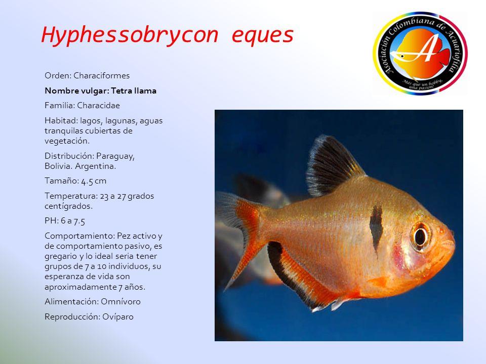 Hyphessobrycon eques Orden: Characiformes Nombre vulgar: Tetra llama