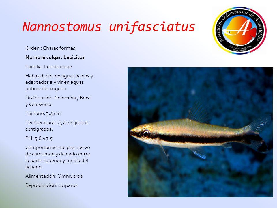 Nannostomus unifasciatus