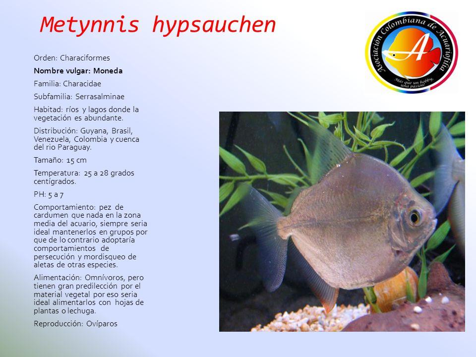 Metynnis hypsauchen Orden: Characiformes Nombre vulgar: Moneda