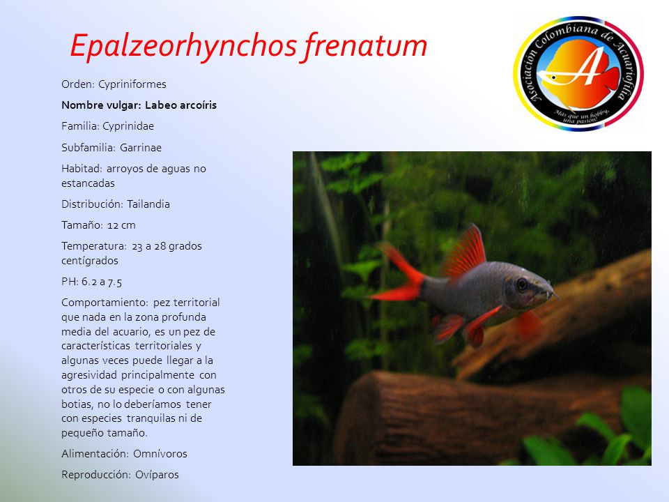 Epalzeorhynchos frenatum